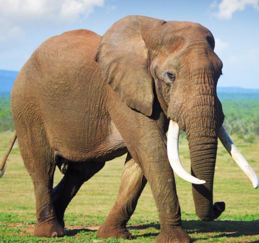L'ancien gardien de l'OM massacre un éléphant et s'en vante!