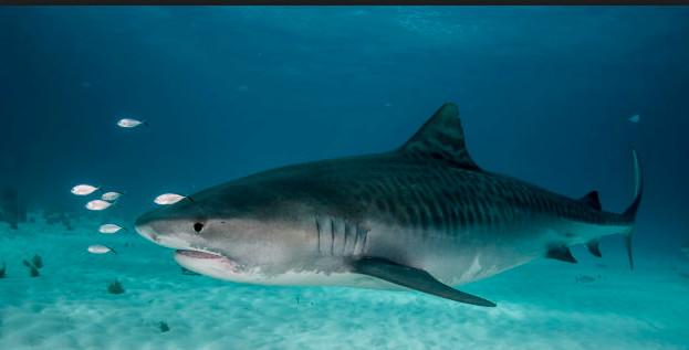 Il survit à une attaque d'ours et de serpent, puis subit l'assaut d'un requin !