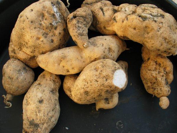 Patates-cochon, patates chouchou, patates... que j'aime ton goût.