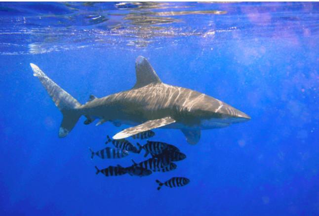 Attaque de requin en Polynésie : deux mains sectionnées et un sein