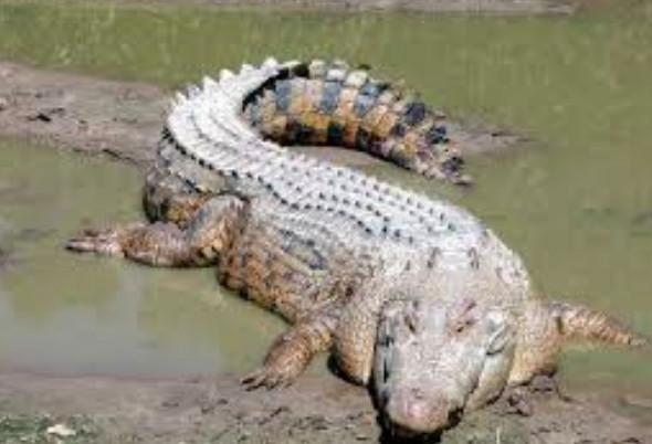 Elle sauve son amie attaquée par un crocodile en combattant l'animal !