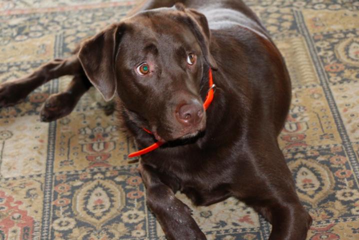 Le chocolat : du poison pour votre chien !