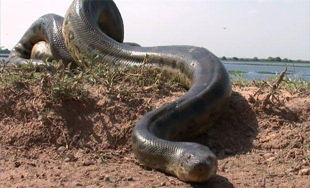 L'histoire de l'anaconda tourne au ridicule!