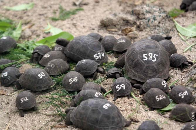 Des tortues Aldabra des Seychelles dans la réserve naturelle de l'île aux Aigrettes