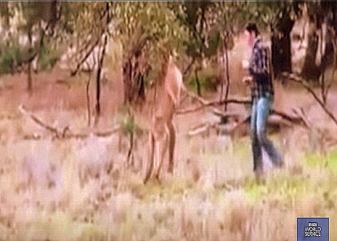 Il décoche une droite à un kangourou qui étrangle son chien !