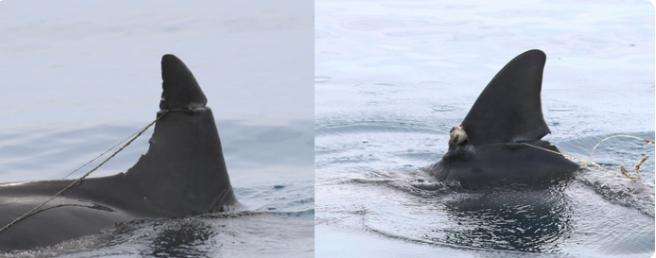 Deux dauphins blessés, les nageoires sévèrement entaillées
