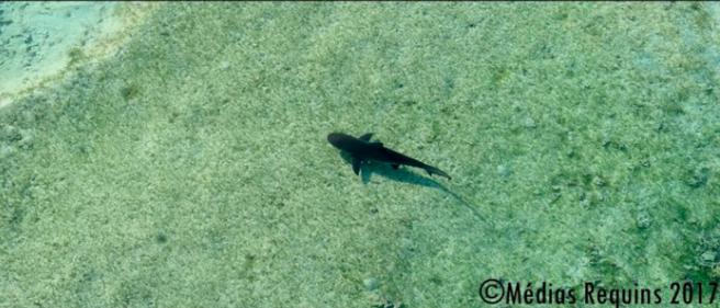 Passe de l'Ermitage : Le requin bouledogue juvénile capturé