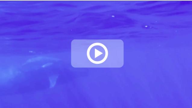 [VIDEO] Un baleineau et sa mère au large de La Réunion