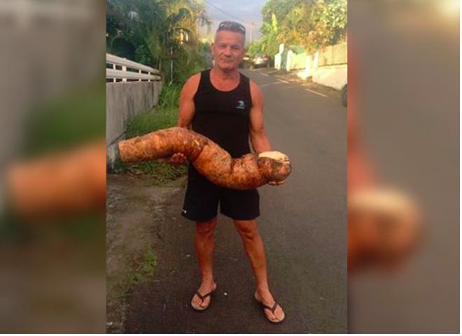 Un manioc géant découvert à La Ravine des Cabris