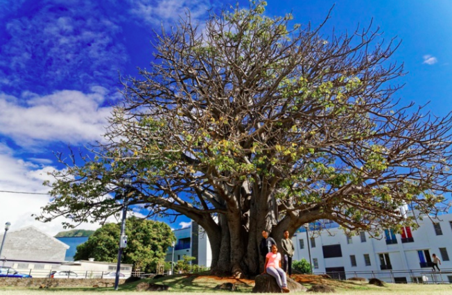 Le baobab des Camélias en lice pour devenir l'Arbre de l'année