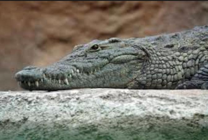 Un crocodile en captivité dévore celle qui le nourrissait