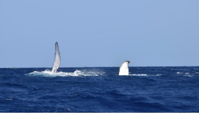 Ouverture d'une consultation publique nationale pour l'observation des mammifères marins: