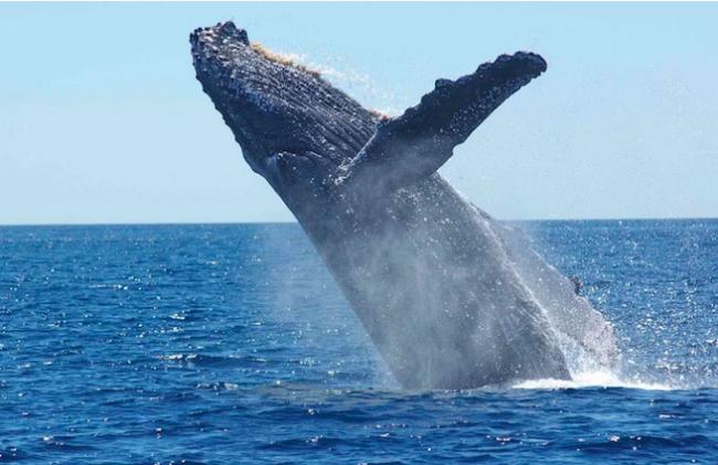 Les baleines desertent nos côtes en 2019