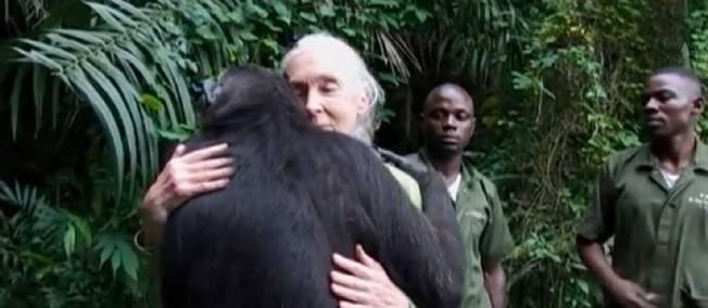 L'incroyable video du chimpanzé rescapé et de Jane Goodall