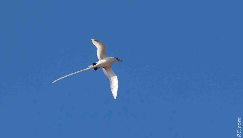 Le paille-en-queue est un bel oiseau emblématique, omniprésent sur l'îlot Gabriel