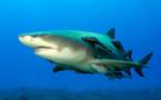 Le cinéaste passionné de requins disparait lors d'une plongée