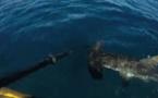 Attaque d'un requin marteau sur un kayakiste