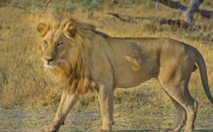 Venu braconner, un homme se fait piétiner par un éléphant et dévorer par les lions