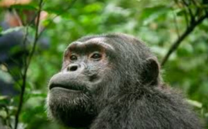 Le soigneur se fait déchiqueter la main par un chimpanzé