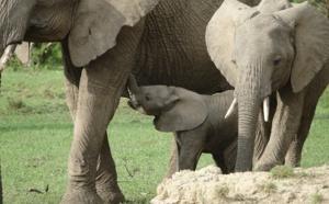 Assassinat sauvage en Inde d'une femelle éléphant en pleine gestation