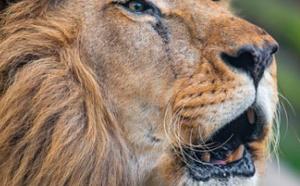 Un pisteur dévoré par deux lions en Afrique du Sud